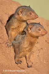 Two Dwarf Mongooses Squeeze Out Of A Hole In The Termite Mound Burrow (brucefinocchio) Tags: dwarfmongoose twodwarfmongoose commondwarfmongoose mongooses mongoose squeezingoutofhole termitemound burrow tarangirenationalpark tanzania eastafrica