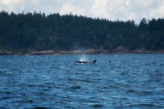 06.27.2019 (TheWeltyFamily) Tags: britishcolumbia 2019 june theweltyfamily vancouver canada orca whale killerwhale biggskillerwhale oceanecoventures cowichan cowichanbay