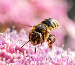 Landing OK (Anniemotion Photographe) Tags: bees abeilles pollinisation insectes fleurs été fleursroses macrophotographie macrophoto