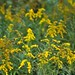 A Field of Goldenrod (Cuyahoga Valley National Park)