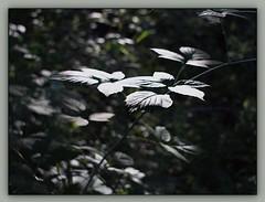 Light & Shadows..... (Steve InMichigan) Tags: wildredraspberry bokeh depthoffield