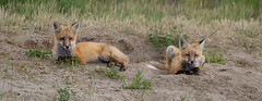Red Fox Pups at Den (markvcr) Tags: red fox canine mammal nature wildlife coth5