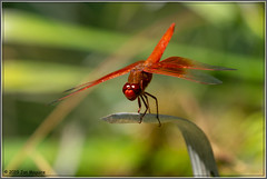 Flame Skimmer 1420 (maguire33@verizon.net) Tags: flameskimmer flameskimmerdragonfly losangelescountyarboretum dragonfly arcadia california unitedstatesofamerica