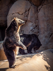A Stand-Up Guy (helenehoffman) Tags: omnivore brownbear scout conservationstatusleastconcern grizzlybear ursus nature ursusarctos sandiegozoo ursusarctoshorribilis carnivore montana mammal wildlife animal