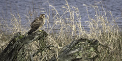 Harrier Perched (aphoto4day) Tags: bird animal hawk explore adventure travel destination camping reflection forest wilderness hunting british columbia river blue pose perch