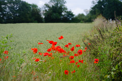 Photo of Wheat field with poppies, Castlecroft