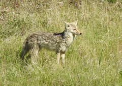Coyote looking for breakfast (pamfromcalgary) Tags: animal coyote pamhawkes