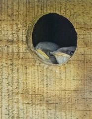 Tree Swallow nestlings_4Jun2019 (Bob Vuxinic) Tags: bird treeswallow tachycinetabicolor nestlings nestingbox cumberlandplateau crossvilletennessee 4june2019