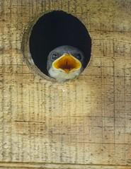 Tree Swallow nestling_4Jun2019 (Bob Vuxinic) Tags: bird treeswallow tachycinetabicolor nestlings nestingbox cumberlandplateau crossvilletennessee 4june2019