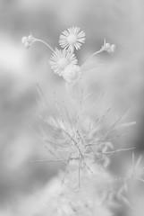 Auto Da Fé (Isodopoulos) Tags: daisy wildflower sunflower cake tada anthropomorphising black white bw bnw ir infrared nikon d80 dslr manual focus jena pancolar 50 18 autodafe effigy bokeh blur nature sudbury tiny drama m42 dof
