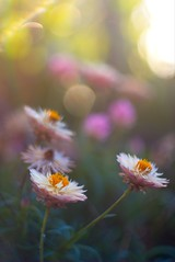 flowers in the sunlight by Super Takumar (Indigo Skies Photography) Tags: asahisupertakumar50mmf14 supertakumar vintagelens japaneselens japanese vintage bohek dof light colour garden flower sunlight flare