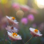 flowers in the sunlight by Super Takumar thumbnail