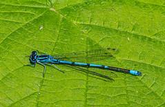Gemeine Becherjungver (kittimat62) Tags: libelle dragonfly natur nature naturschutzgebiet canon eos60d nrw niederrhein naturschutzhof blau blatt insekt insekten ngc