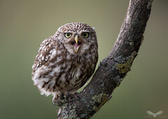 Little owl (Andy Davis Photography) Tags: owl athenenoctua farmland perched adult summer canon