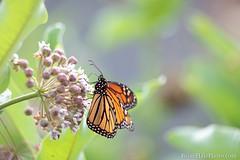 1-watermark (Brian M Hale) Tags: monarch butterfly insect outside outdoors nature tower hill botanic garden boylston ma mass massachusetts new england newnengland usa brian hale brianhalephoto