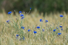 Cornflowers (Tim Melling) Tags: cornflower corn flower centaurea cyanus shepley west yorkshire arable wheat weed timmelling