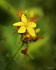 Be a Flower not a Weed (barbara_donders) Tags: natuur nature flower bloem macro dof mooi prachtig beautiful magical magisch yellow geel