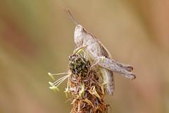 Grasshopper nymph (scubahenlik) Tags: orthoptera insect grasshopper nymph nature ishøjstrandpark denmark