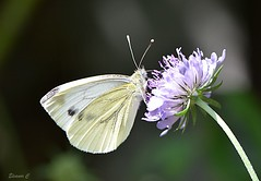 Small White (Pieris rapae) (Eleanor (New account))) Tags: butterfly flower smallwhitebutterfly scabious garden stanmore uk nikond7200 july2019