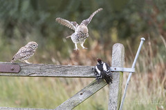Little Owl (Athene noctua) Great Spotted Woodpecker (Dendrocopos major) (phil winter) Tags: littleowl athenenoctua fledglings greatspottedwoodpecker dendrocoposmajor fighting
