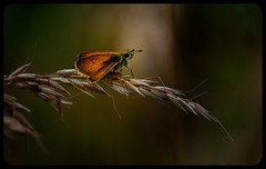 Skipper (pitkin9) Tags: butterfly skipper nature wildlife outdoorphotography makemesmile
