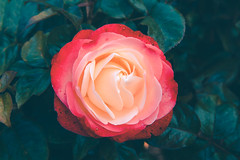 Summer blossom (Dhina A) Tags: sony a7rii ilce7rm2 a7r2 a7r fe 55mm f18 za 18 carl zeiss sonnar t sel55f18z summer blossom flower rose