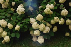 (Natalia_Shavnyova) Tags: 35mmfilm kodak kodakfilm filmphotography film flowers analog nature summer