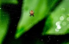 6M7A6881 (hallbæck) Tags: spider web droplets virum denmark vb natur nature edderkop spindelvæv dråber arachnid araneaeorder animalia insect canoneos5dmarkiii ef100mmf28lmacroisusm