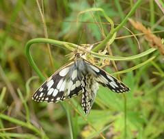 Marbled White Butterflies (John_E1) Tags: marbled white butterfly malanargia galathea insect ewt closeup