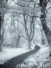 Forest Walk (kckelleher11) Tags: 1250mm 2019 ir infraread olympus pmd tripapril2019 april bw black em5 mzuiko path skpc tree walk white woods
