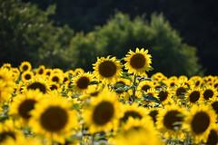 Comme un écho au soleil (Excalibur67) Tags: nikon d750 sigma globalvision contemporary 100400f563dgoshsmc paysage landscape flowers fleurs tournesol sunflower girasole nature champ campagne jaune yellow soleil