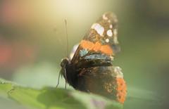 The Landing... (KissThePixel) Tags: macromonday monday macro makro nature butterfly redadmiral insect longacremanor nikon light sunlight sunbathing beautiful sigma70200mm sigma macrolens f28