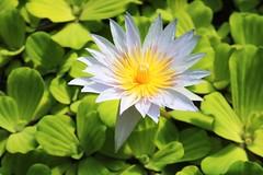 Lily flower (ekaterina alexander) Tags: lily water flower nymphae blu yellow center ekaterina scotland flowers alexander summer royal botanic gardens edinburgh