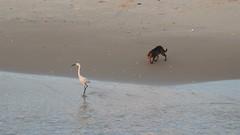 Охотница (unicorn7unicorn) Tags: море цапля птица кошка пляж берег wah