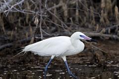 Redidsh Egret - Ding Darling National Wildlife Refuge, Sanibel Island, Florida (Larry Hubble) Tags: reddishegret egrettarufescens dingdarlingnationalwildliferefuge sanibelisland florida unitedstates
