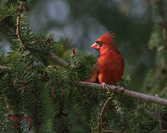 male - cardinal (dbking2162) Tags: birds bird beautiful beauty nature nationalgeographic noblesville outdoor cardinal red explore eyes tree green wildlife