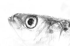Macro Mondays (JacLine Hein) Tags: 2019 fish macro macromondays noiretblanc blackandwhite poisson sardine highkey