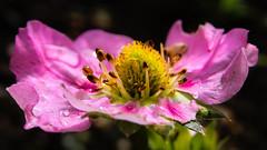 Erdbeerblüte nach Starkregen (tiefenunscharf) Tags: nature strawberry blossom bloom flower floral head wet drops rain heavy pink closeup macro macrophotography flowermacro