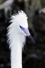 Redidsh Egret - Ding Darling National Wildlife Refuge, Sanibel Island, Florida (Larry Hubble) Tags: reddishegret egrettarufescens dingdarlingnationalwildliferefuge sanibelislandfloridaunited states