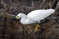 Snowy Egret - Ding Darling National Wildlife Refuge, Sanibel Island, Florida (Larry Hubble) Tags: unitedstates florida snowyegret egrettathula sanibelisland dingdarlingnationalwildliferefuge