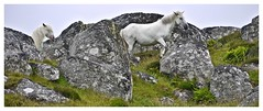 Running wild! (john.methven) Tags: pony horse uist hebrides equine boulders rugged island