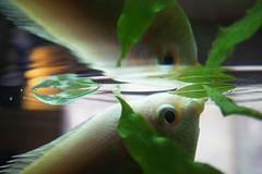 Kiss Kiss (BusyBlueMtns.Grandma) Tags: kissinggourami reflection macromondays gonefishing aquarium