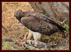 MARTIAL EAGLE (Polemaetus bellicosus)......MASAI MARA......OCT 2015 (M Z Malik) Tags: nikon d3x 200400mm14afs kenya africa safari wildlife masaimara maraserena exoticafricanwildlife exoticafricanbirds ngc npc