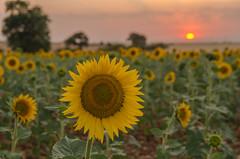 El girasol. (Amparo Hervella) Tags: brihuega españa spain paisaje girasol naturaleza atardecer puestadesol flor nube cielo d7000 nikon nikond7000
