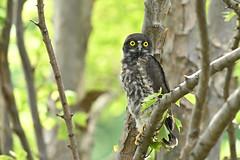 アオバズクの巣立ち雛 (myu-myu) Tags: nature bird wildbird ninoxscutulate brownhawkowl fledglingchick nikon 野鳥 アオバズク 巣立ち雛 japan