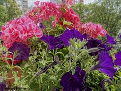 BS-Heidberg, Balkon Blumen (bleibend) Tags: 2019 em5 omd blumen braunschweig bs bsheidberg flower flowers m43 mft olympus olympusmzuiko1240mmf28pro olympusem5 olympusem5mark1 olympusomd pflanzen