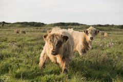 (Sento MM) Tags: vaca vacas pelo hippie isla pasto langeoog alemania