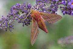 Elephant Hawk-moth (Gareth Christian) Tags: deilephilaelpenor dolwyddelan elephanthawkmoth moth wales unitedkingdom