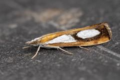 Catoptria pinella (Gareth Christian) Tags: catoptriapinella dolwyddelan moth pearlgrassveneer wales unitedkingdom