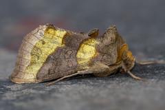 Burnished Brass (Gareth Christian) Tags: burnishedbrass diachrysiachrysitis dolwyddelan moth wales unitedkingdom